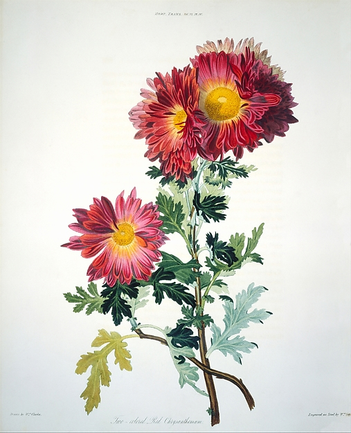 Red chrysanthemums drawn by William Clarke