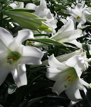 Field Of Easter Lilies