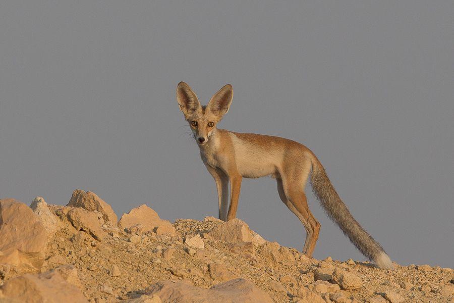 Eurasian Red Fox
