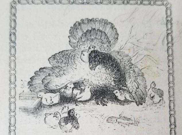 Illustration of Turkey with Chicks